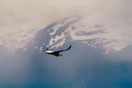 A black and white eagle flying over high mountains covered with snow Standard-Bild