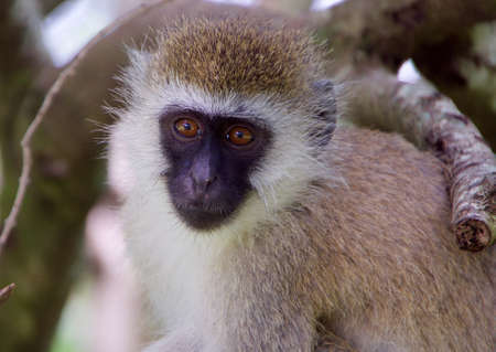 A closeup shot of a langur monkey among the branches of a tree