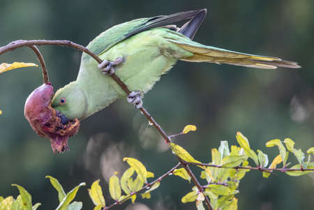 A Drara Parrot enjoying a first meal of the day. Reklamní fotografie