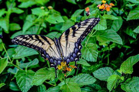 A closeup shot of a Papilio Machaon butterfly hanging out in its natural habitat