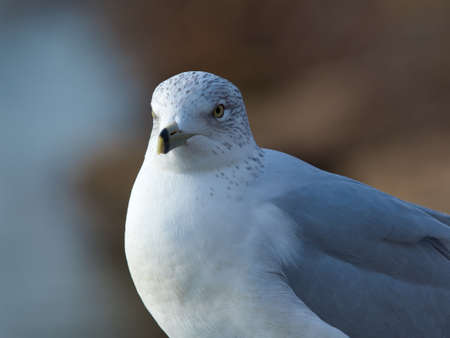 A closeup of a Stock dove with yellow eyes under the lights with a blurry background