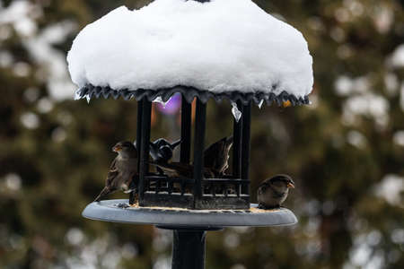 A group of beautiful sparrows sitting in a metal bird house protecting themselves from the snow