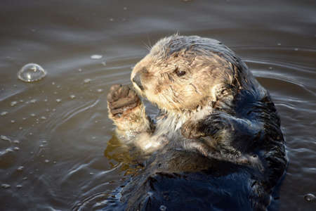 A closeup shot of a soaked sea otter sunbathing in the muddy lake