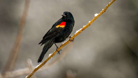 Red-winged blackbird (Agelaius phoeniceus) shot off the Boardwalk during Spring migration at Magee Marsh Wildlife Area in Oak Harbor, Oh