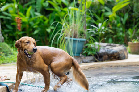 A cute brown dog getting a tennis ball out of the pool in a garden Stockfoto