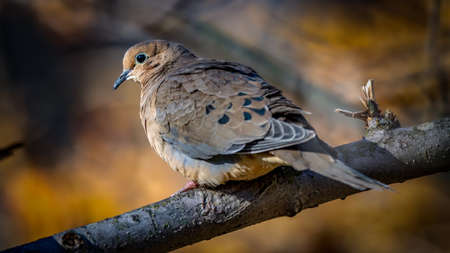 Mourning Dove perched on a branch during Golden hour Stock Photo