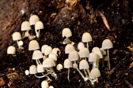 Autumn tuft of Coprinellus disseminates, fairy inkcap, inky cap, trooping crumble cap, on rotting wood. Buskett, Malta, Medirerranean Reklamní fotografie