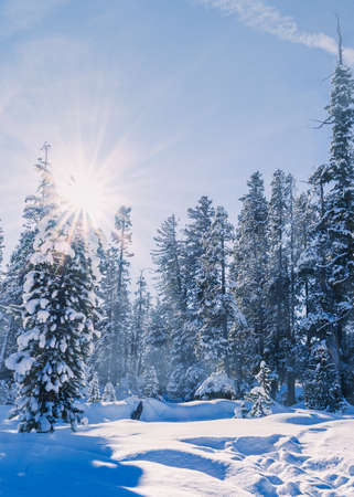 A low angle vertical shot of a snowy forest on a sunny winter day and with the sun bursting brightly