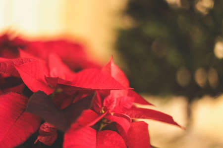 A selective focus closeup shot of festive red Mexican Poinsettias spreading Christmas atmosphere