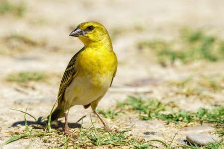 Yellow weaver bird close up