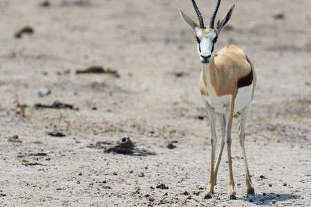a closeup shot of a young gemsbok staring straight at the camera Imagens