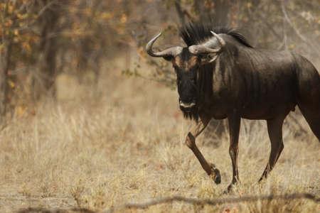 a closeup shot of a wildebeest trotting on the grassy savanna Stock fotó