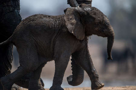 A closeup shot of a baby elephant walking with the mother elephant Imagens