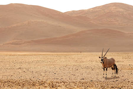A panoramic shot of a gemsbok standing on a bare plain with hills in the background Imagens