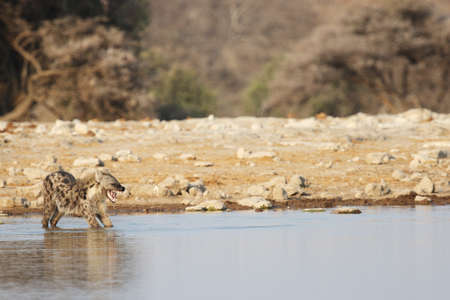 A panoramic shot of a hyena stretching in a waterhole