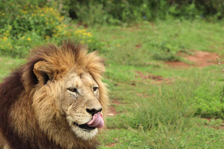 A furry lion walking in the Addo elephant national park during daytime Stockfoto