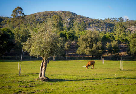 A cow grazing in a grassy field surrounded by beautiful green trees and mountains
