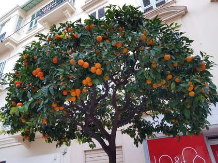 A low angle shot of an orange tree near a building