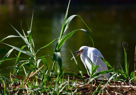 A white waterbird sitting on the grass near the lake with a blurred background 免版税图像