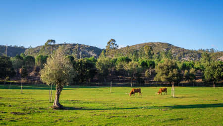 Two cows grazing in a grassy field surrounded by beautiful green trees during daytime