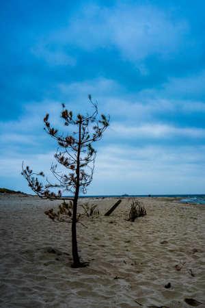 A dried lone tree on a sandy beach under blue skies