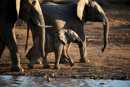 A beautiful shot of an african baby elephant walking with the herd Imagens