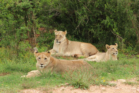 A group of beautiful lionesses lying proudly on the grass covered field near the trees Reklamní fotografie