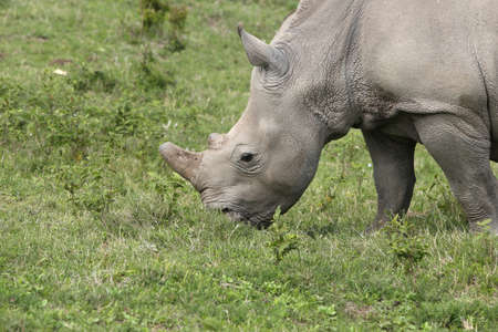 A magnificent rhinoceros grazing on the grass covered fields in the forest Stock Photo