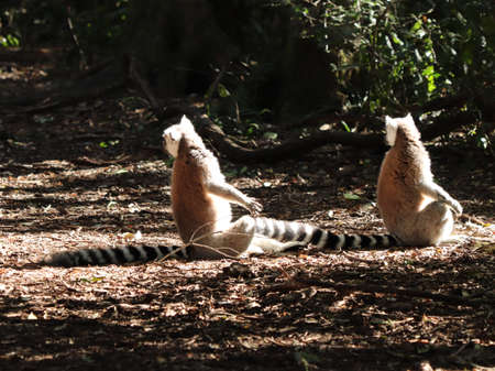 A group of lemurs sitting on the muddy ground in the middle of a forest