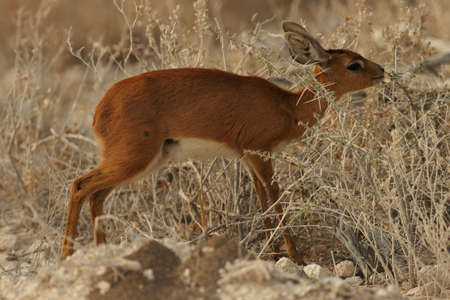 A closeup shot of a young oribi - an endangered animal species - among thorny bushes in Namibia