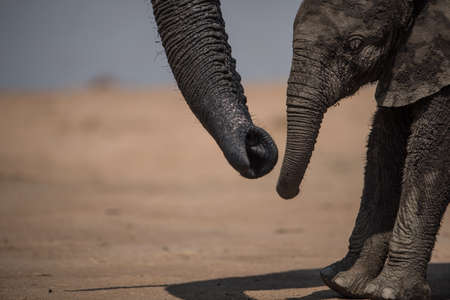 A closeup shot of a mother elephant loving her baby