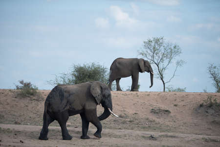 A big and small african elephant walking together