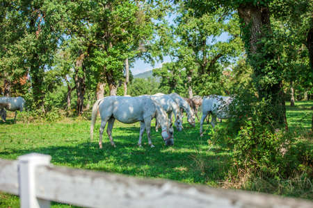 The beautiful white horses grazing in the Lipica, National park in Slovenia