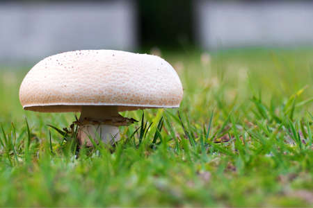 A closeup shot of a white mushroom in a grassy field with a blurred background Banque d'images