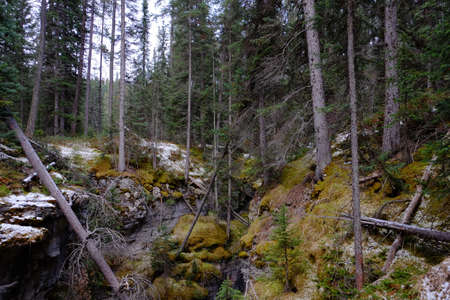 The forest with a mossy ground in the Maligne Canyon in Canada