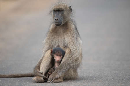 A beautiful shot of a mother and baby baboon sitting on the road