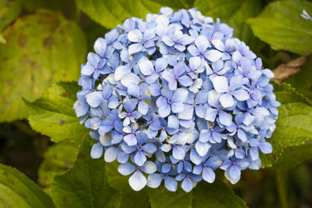 A closeup shot of beautiful hydrangea Serrata flower with green leaves on a blurred background