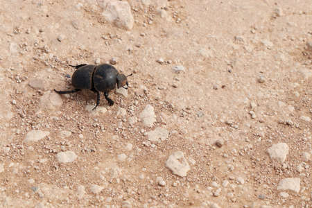 A high angle shot of a black dung beetle walking on the dusty and rocky ground Banque d'images