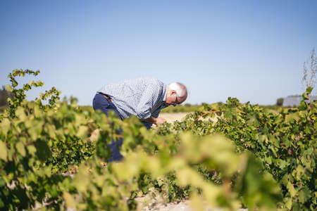 A middle-aged person picking grapes in a vineyard for making wine
