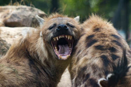 Two hyenas one of them yawning with a blurred background