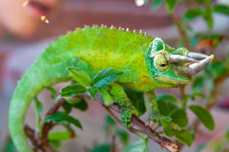 A selective focus shot of a green horned chameleon with a blurred background