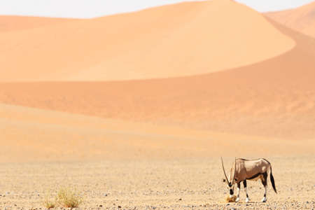 a panoramic shot of a gemsbok standing on a savanna plain with sand dunes in the background