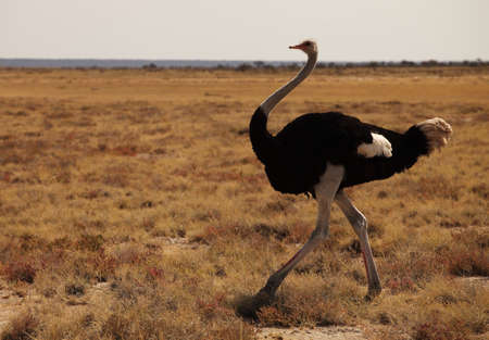 a closeup shot of an ostrich running on the grassy savanna plain in Namibia Banque d'images