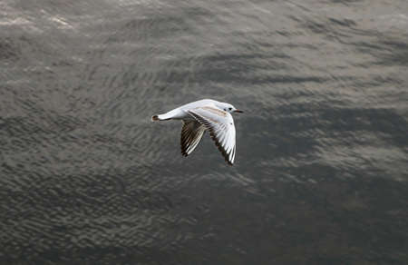 A high angle closeup shot of a beautiful gull flying above the water