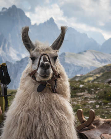 A beautiful shot of a white llama looking at the camera with blurred mountains in the background
