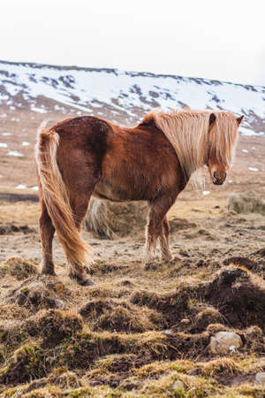 An Icelandic horse walking through a field covered in the snow with a blurry background in Iceland