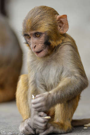 A vertical picture of a Rhesus macaque sitting on the ground with a blurry background Stock fotó