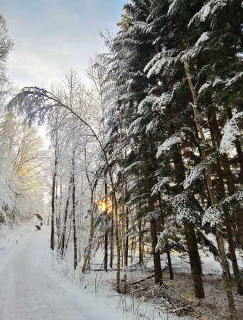 A vertical picture of trees covered in the snow in the forest under the sunlight in Larvik in Norway