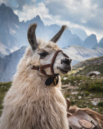 A selective focus shot of a white llama with blurred mountains in the background