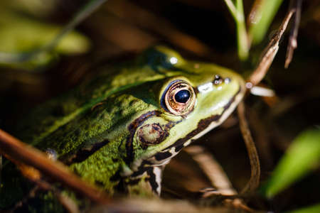 A closeup shot of a barking tree frog with an intense stare